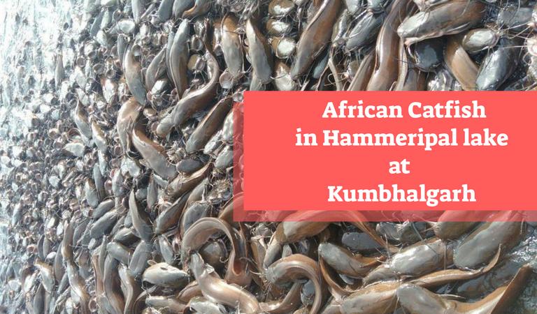 Hammeripal lake in Kumbhalgarh has thousands of African Catfish!